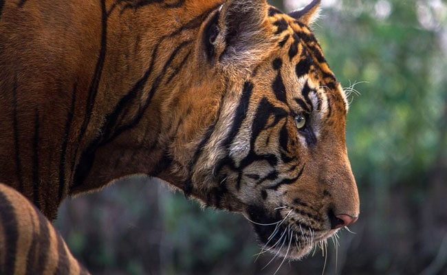Top Court Stays Decision Allowing Private Buses In Core Area Of Corbett Tiger Reserve